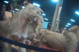 Video con cámara oculta muestra cómo se negocia cazar leones, elefantes y más
