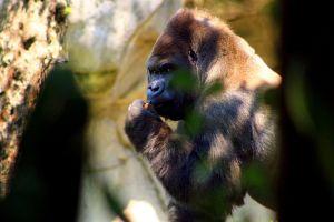 México: Destazan y decapitan a gorila para necropsia, filtran fotos