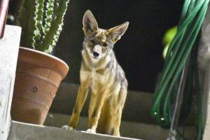 Un niño de 6 años es atacado por un coyote en Irvine Park