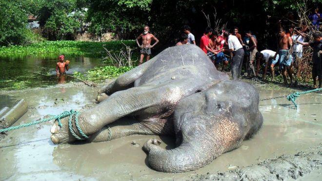 Video: Así murió Bangabahadur, el elefante arrastrado más de 1,000 millas por una inundación
