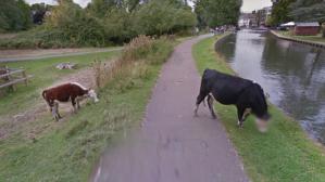 Google Street View reconoce el derecho a la privacidad... de una vaca