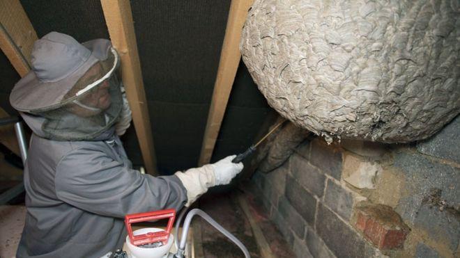 Fotos: Arreglaba el desván de su casa y se topó con este enorme nido de avispas