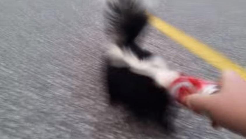 Video viral: ¿Qué hace este hombre con el zorrillo?