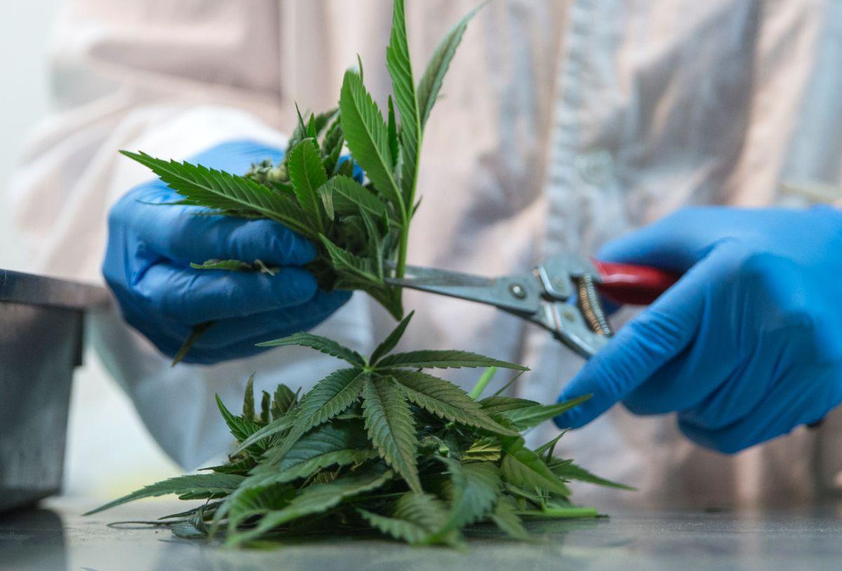 Puerto Rico inicia audiencias sobre la marihuana medicinal