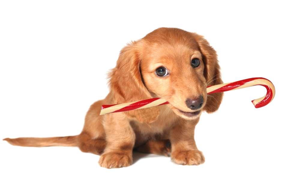 En cualquier descuido las mascotas pueden llevarse a la boca dulces, chocolates u otras delicias de la Navidad que son dañinos para su salud.