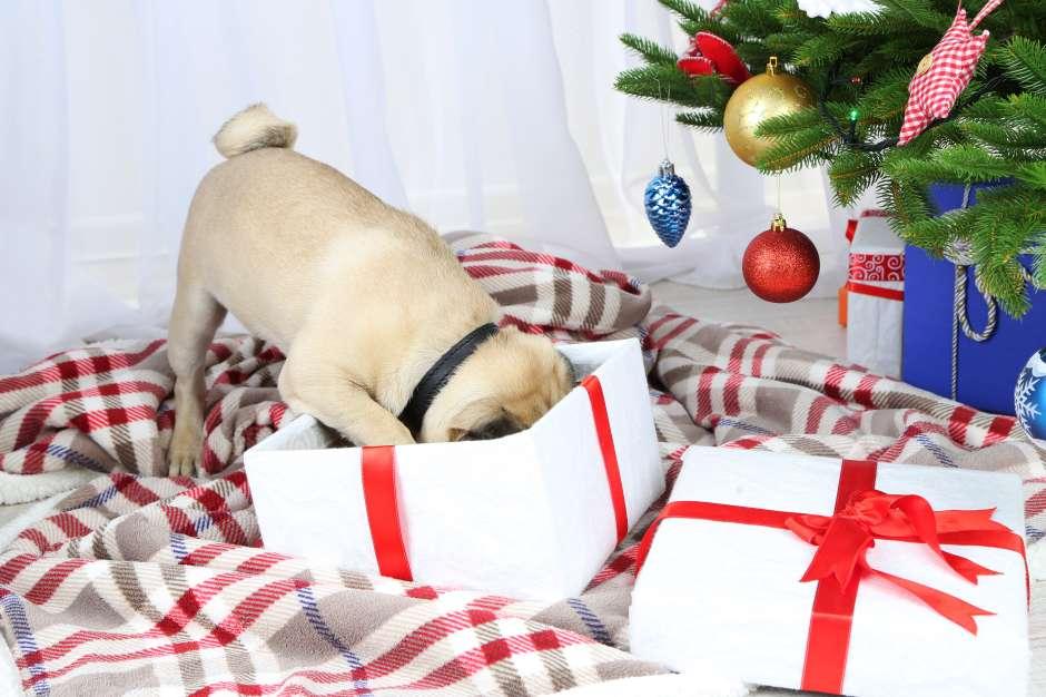 Para el canino no vigilado, las decoraciones navideñas y los regalos de Navidad bajo el árbol son toda una tentación para sus juegos y travesuras.
