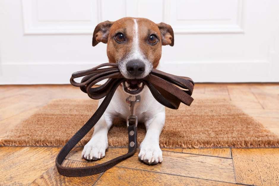 Para que el perro no haga sus necesidades dentro de la casa hay que sacarlo a su paseo rutinario ante de salir de casa y regresar. En muchos casos, el mismo lo recordará al sentarse en la puerta con la correa.