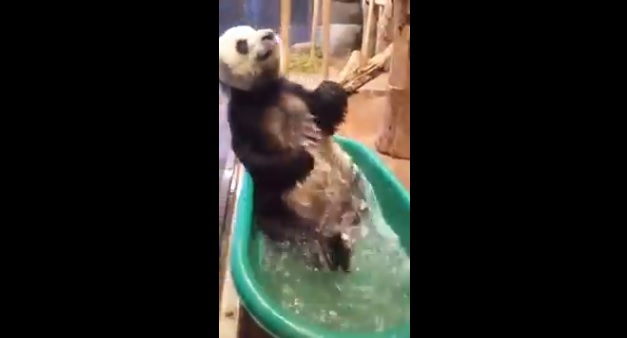 Video: Panda disfruta su baño en tina