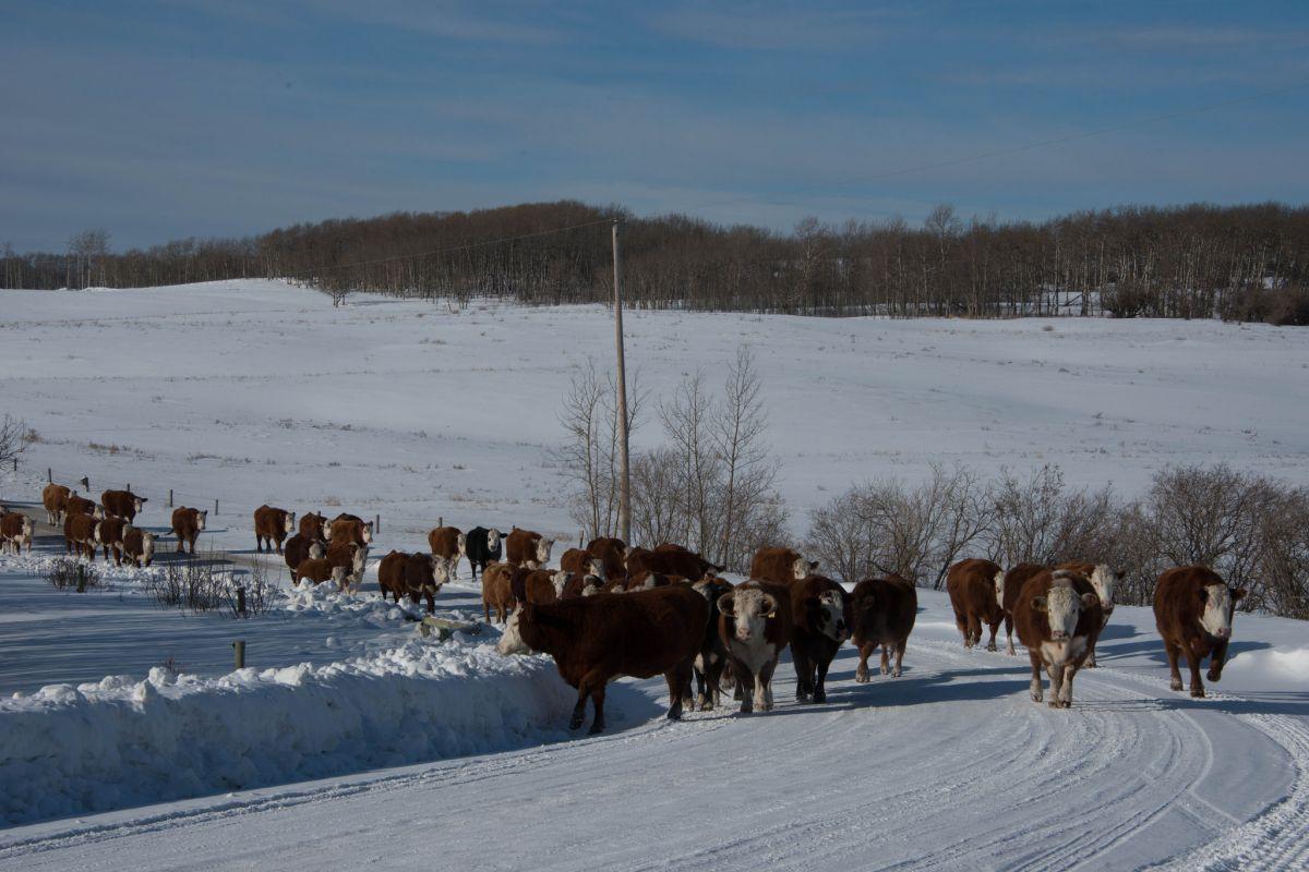 El cuidado del ganado es difícil en Montana.