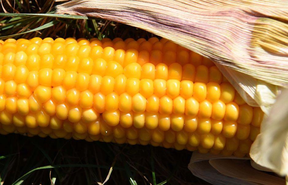 Gobierno atiende a cuatro claves para conservar el maíz de México