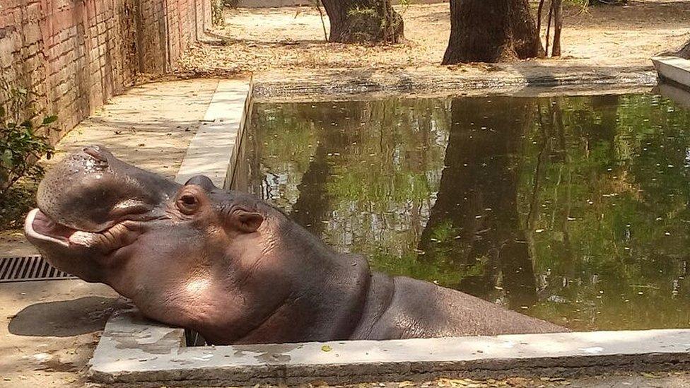 Una autopsia concluye que el hipopótamo Gustavito murió por negligencia