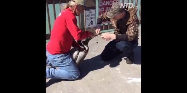 El video del heróico salvataje de un pelícano que tenía su pico atado con una cuerda