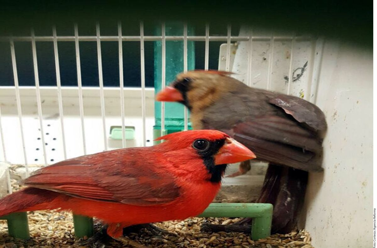 Voló de España a Puerto Rico con 32 aves vivas en su maleta de mano