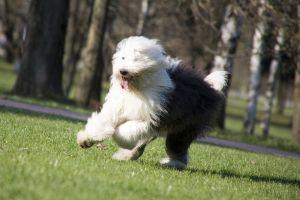 Razas de perros de origen inglés, en riesgo de desaparecer