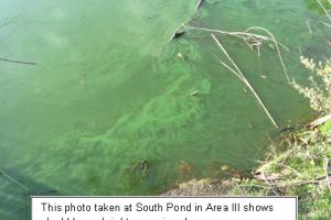 Descubren peligrosa cianobacteria en lagunas de parque de Long Beach