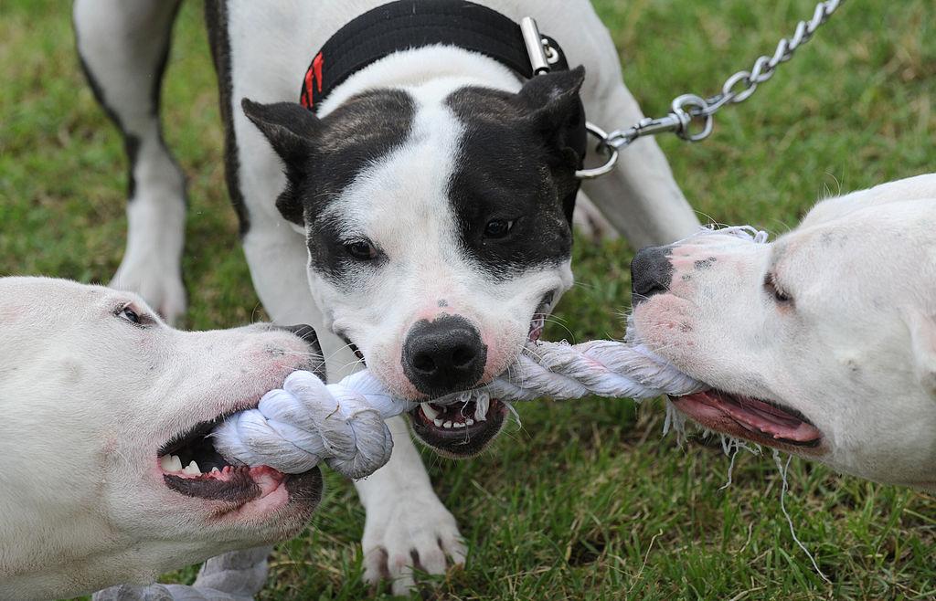 Dos perros de la raza Pitbull mataron a un niño.
