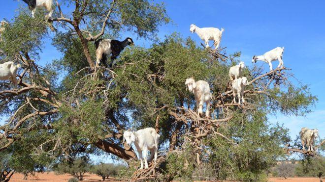 """El misterio de las cabras """"voladoras"""" de Marruecos"""
