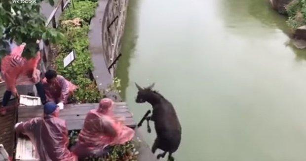 Video: Arrojan un burro vivo para alimentar a tigres hambrientos