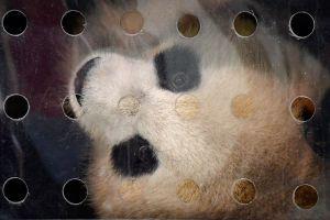 Osos panda y otros animales que parecen inofensivos pero que en realidad no lo son