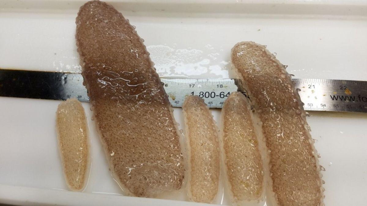 """Así son los numerosos """"pepinillos de mar"""" que abundan en el noroeste del Pacífico."""