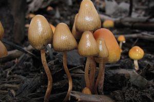 El consumo de hongos alucinógenos podría legalizarse en California