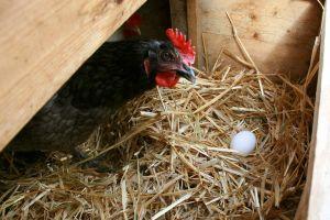 California podría desenjaular a todas sus gallinas ponedoras para 2022