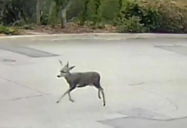 Imágenes muestran al ciervo huyendo tras ser disparado en Monrovia