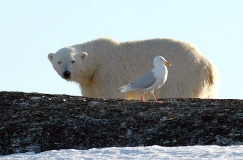 Atrapados por osos polares hambrientos