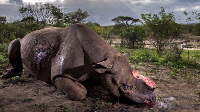 """La cruel imagen de rinoceronte mutilado elegida como """"la mejor foto de la naturaleza"""" del año"""