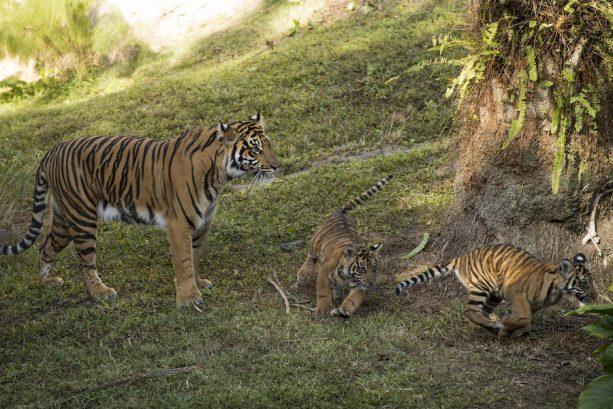 Dos cachorros de tigres de Sumatra llegan a un parque de Disney