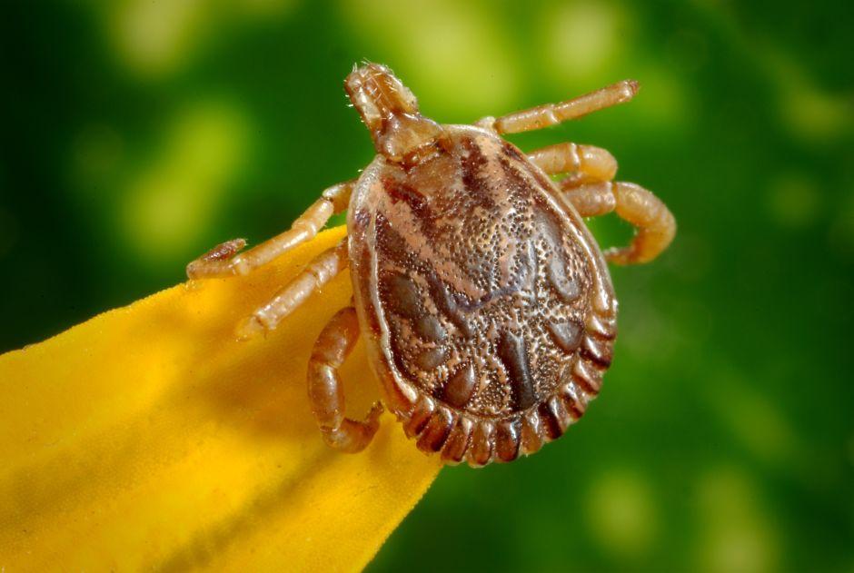 ¿Las garrapatas muy pequeñas transmiten la enfermedad de Lyme?