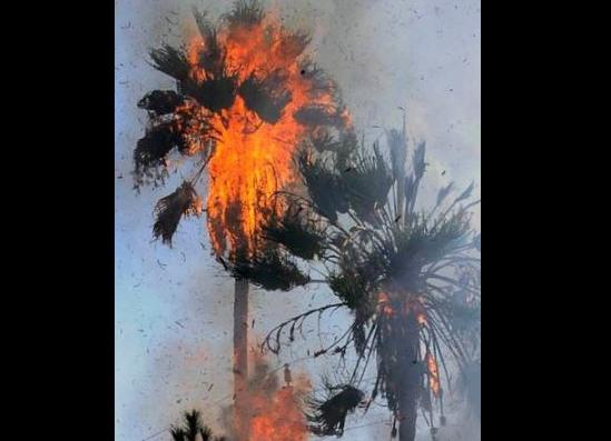 Arrestan a hombre que deliberadamente prendió fuego a palmera en Van Nuys