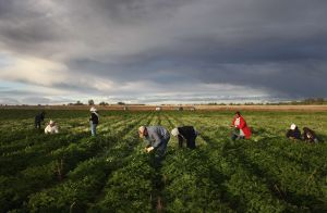Terrible muerte: un trabajador mexicano se ahogó en un pozo de estiércol en Colorado