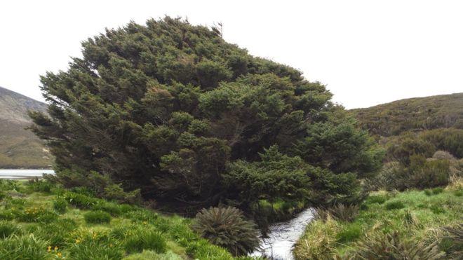 """Este es el """"árbol más solitario"""" del planeta ( y posee importante secreto histórico)"""