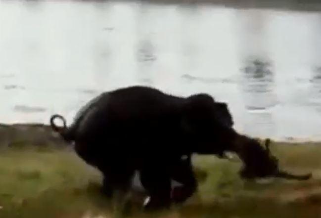 Video: Elefante pisotea a granjero hasta matarlo