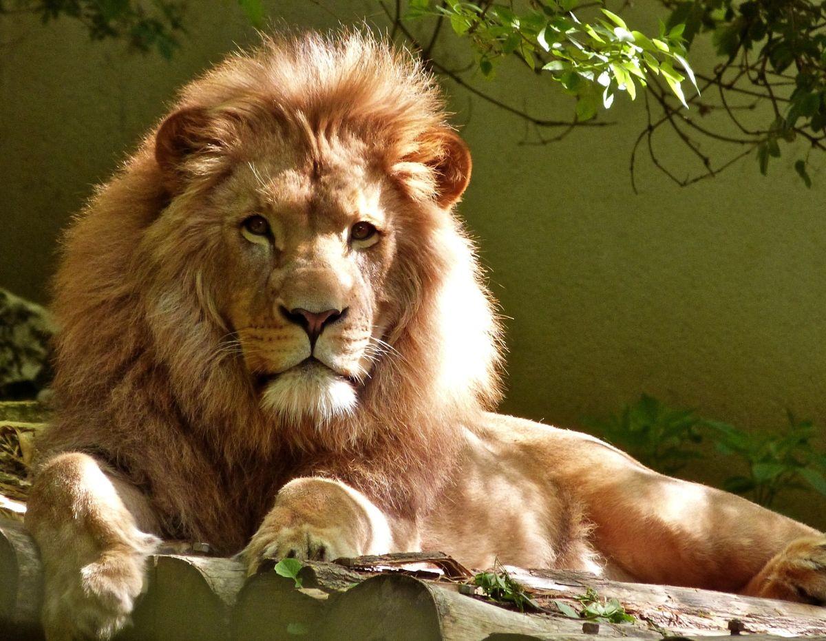 Leones matan a cazador infiltrado en reserva de Sudáfrica