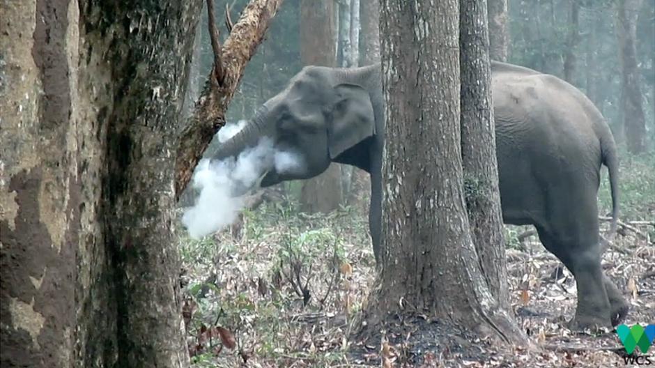 La razón por la que este elefante echa humo por la boca