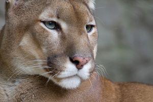 Un puma se cuela en un hogar de Colorado y mata al gato de la casa