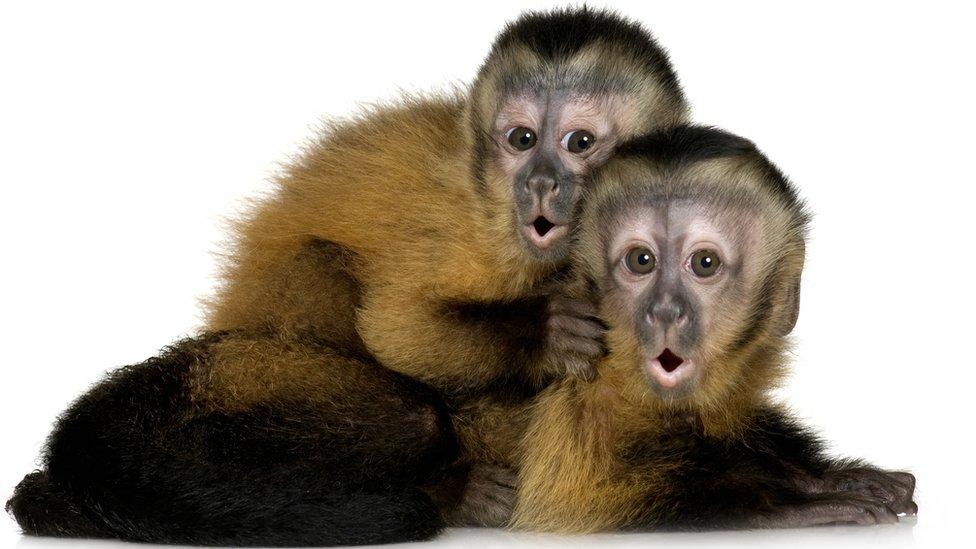 Las inesperadas lecciones económicas que nos pueden enseñar los monos