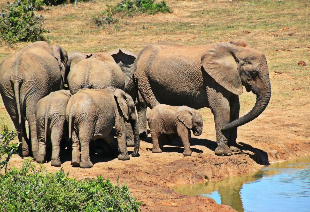 Los elefantes desaparecerán de la faz de la Tierra.