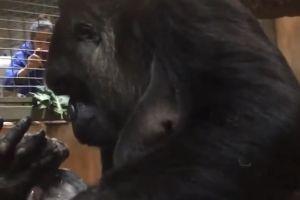 Video: El tierno momento entre una gorila y su recién nacido en zoo de EEUU
