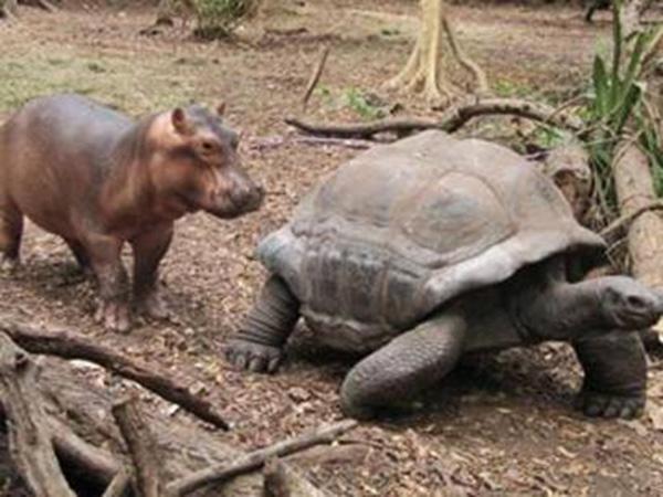 Un hipopótamo bebé fue barrido por un tsunami y una tortuga de 130 años le ayudó a sobrevivir