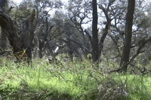 El calor y la sequía acaban con miles de árboles en las montañas de Santa Mónica