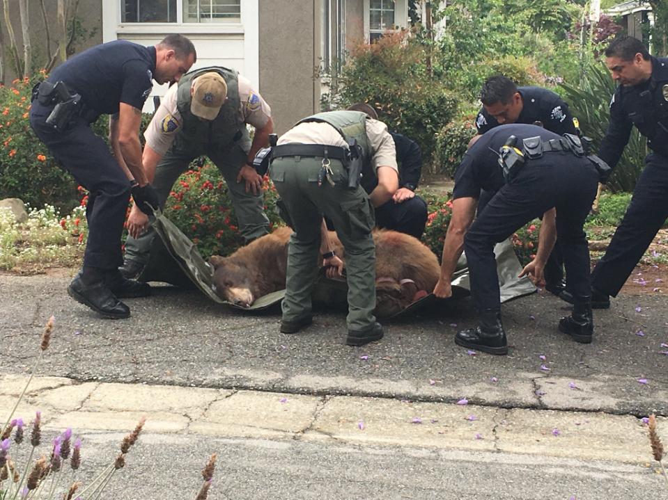 El oso fue capturado esta mañana mientras deambulaba por La Verne.
