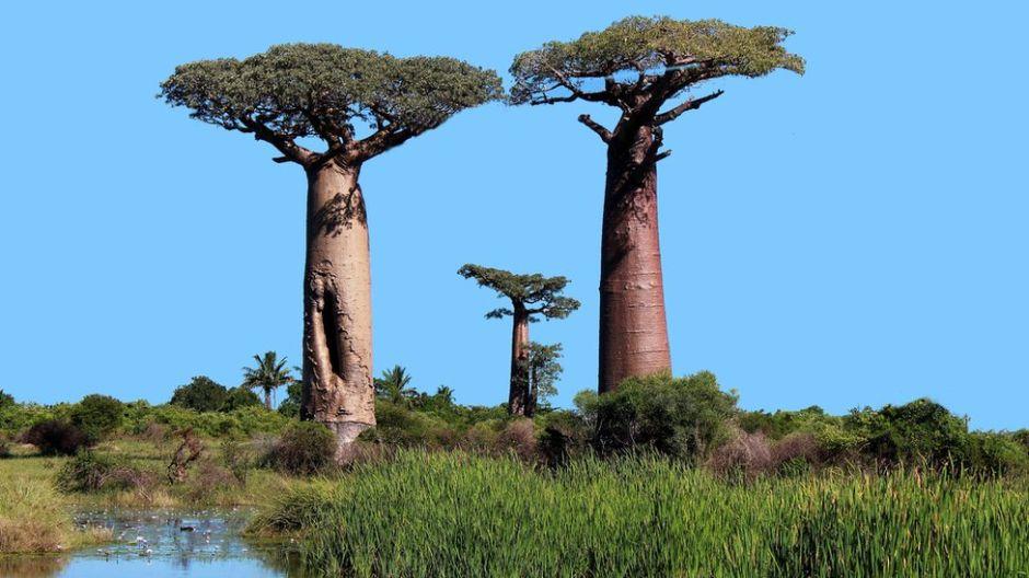 El misterio de por qué se están muriendo los baobabs africanos