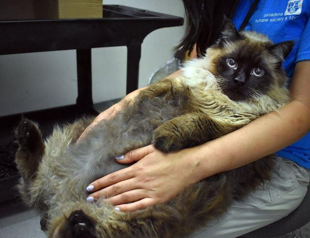Buscan a dueño de gato que pesa 29 libras