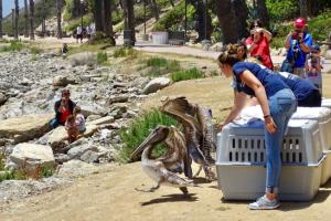 El refugio de San Pedro libera a tres pelícanos tras semanas de cuidados