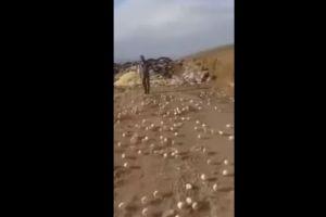 Video: Miles de pollitos nacen de huevos echados a un basurero