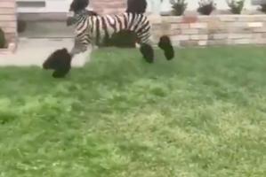 No es una zebra, ¡pero lo parece!