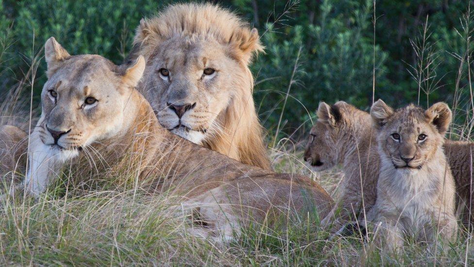 Leones matan a cazadores que querían capturar rinocerontes de forma ilegal